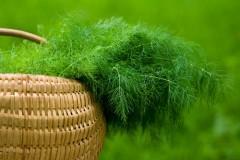 укроп кухонная трава - продукты, полезные советы