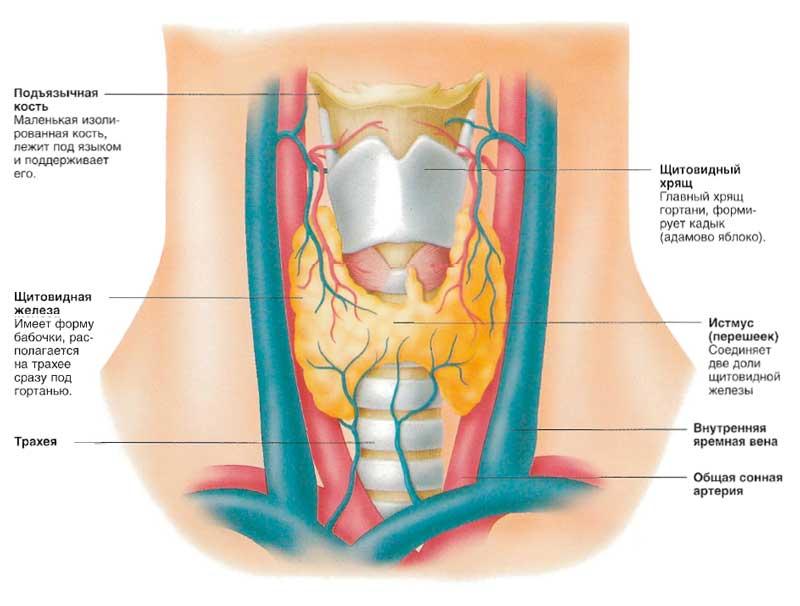 Болезни щитовидной железы: причины и симптомы